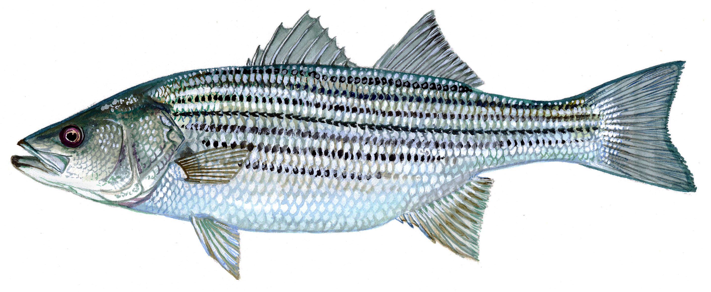 Striped bass for Fishing for striped bass