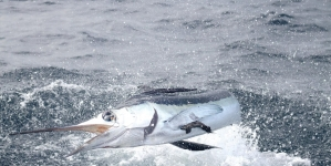 Ocean City Offers $5,000 Prize for First White Marlin of the Season