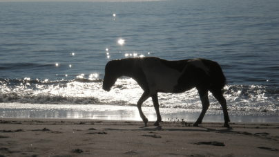The Wild Ponies of Assateague (21 photos)