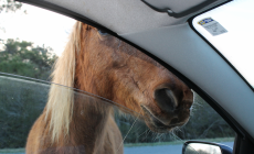 Horses and More on Assateague (17 photos)