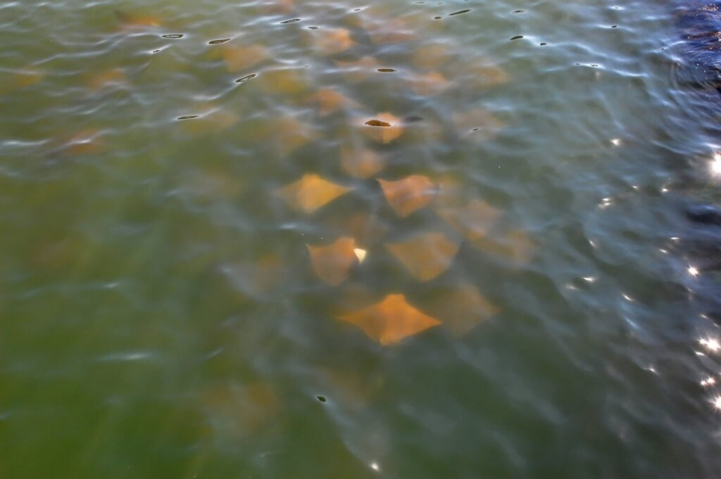 Skates (or rays) in the Assawoman Bay cruising the bridge.