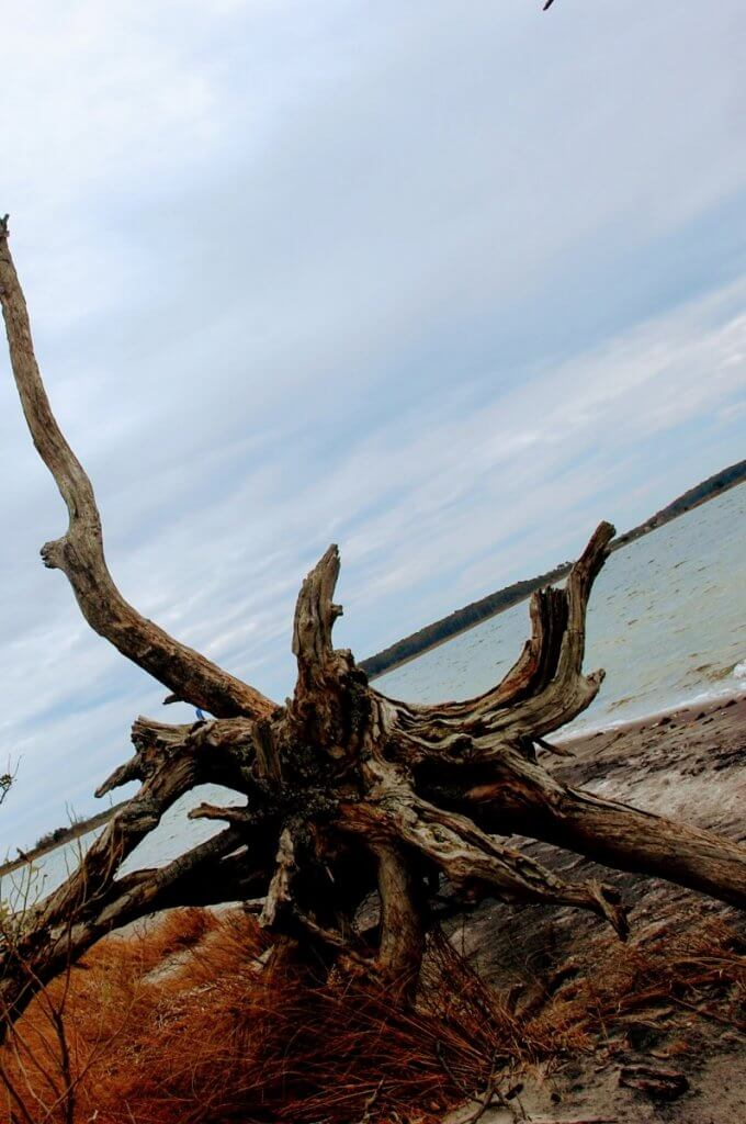 dead tree on Assateague Island