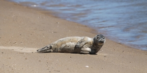Spotting a seal in Ocean City: A primer