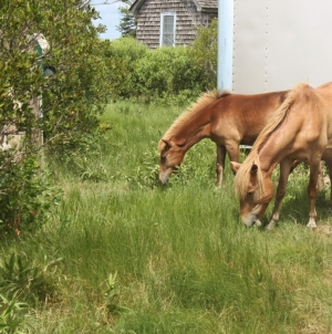 Trying out the Assateague Horse ID app