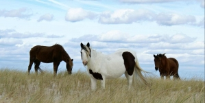 Creature Feature: Assateague vs. Chincoteague horses