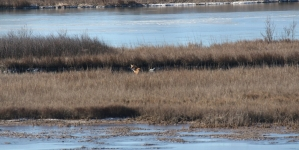 Creature Feature: Red fox sightings abound